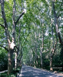 Zunehmender Einfluss der chinesischen Zivilgesellschaft? – Nanjinger Baumschutzbewegung