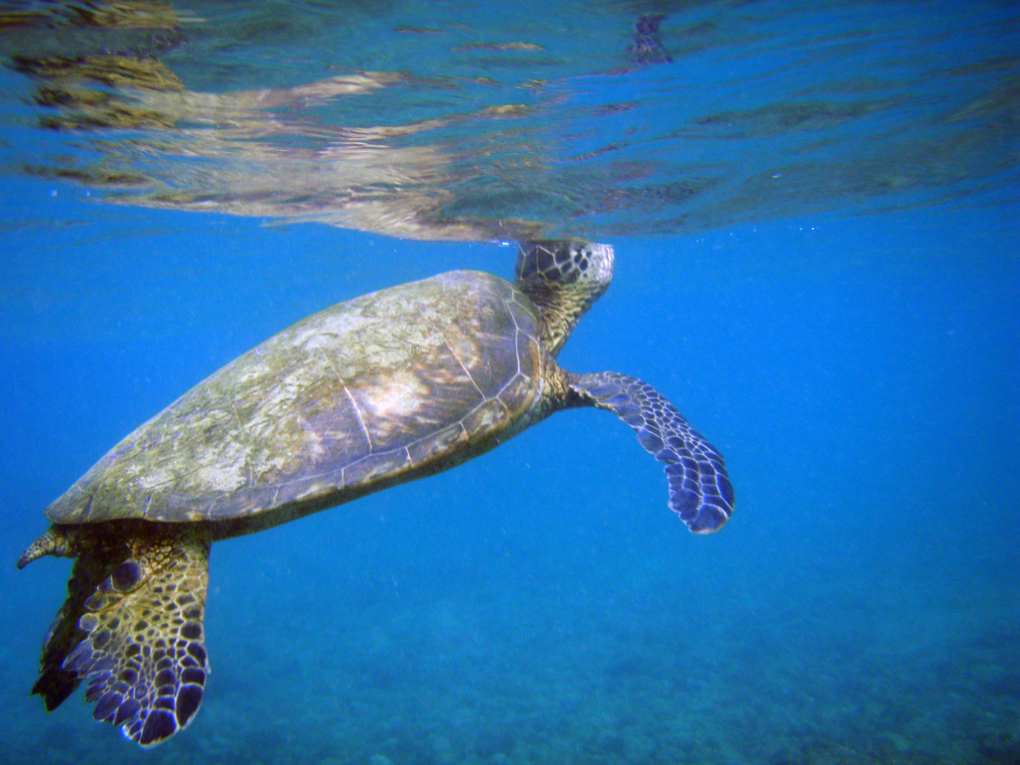 """""""Haigui"""", die Meeresschildkröte, ist das chinesische Synonym für einen aus Übersee zurückkehrenden chinesischen Hochschulabsolventen. © Sreejithk2000, via Wikimedia Commons"""