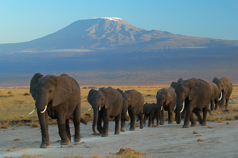 Elefanten vor dem Kilimanjaro – wegen Wilderei wurde die Zahl der Elefanten in den letzten 50 Jahren mehr als halbiert © Amoghavarsha via Wikimedia