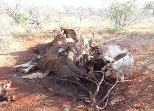 Überreste eines wegen Elfenbein gewilderten Elefanten © Ina96 via Wikimedia Commons