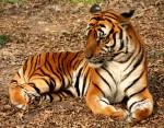 Südchinesischer Tiger