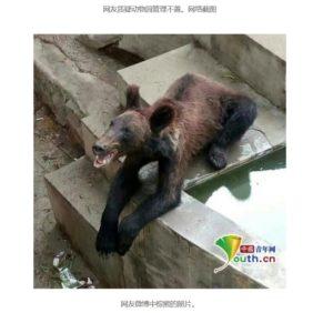 Viele Tiere in chinesischen Zoos sehen nicht besonders glücklich aus, so wie dieser Braunbär. Screenshot einer auf Weibo geposteten Aufnahme von youth.cn, tinyurl.com/y9t576w7