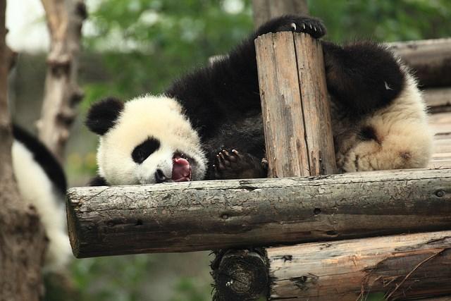 Ein Panda, das chinesische Nationaltier, rekelt sich in einem Zoo. So sieht man es als Zoobesucher gerne. © George Lu via Flickr, tinyurl.com/ycfthctd