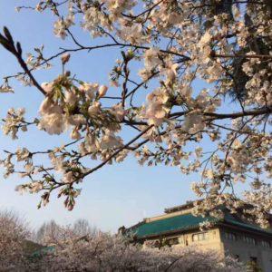 Kirschblüte auf dem Campus der Wuhan-Universität; (c) Jin Min